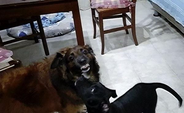 cane ringhia