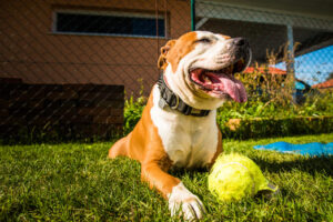 staffordshire terrier amstaff dog in a garden with D8C33H4 2
